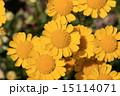 クリサンセマム・ムルチコーレの黄色い花 15114071