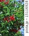 開花 海紅豆 アメリカデイゴの写真 15116928