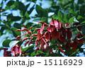 開花 海紅豆 アメリカデイゴの写真 15116929