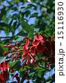 開花 海紅豆 アメリカデイゴの写真 15116930