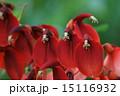 開花 海紅豆 アメリカデイゴの写真 15116932