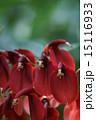 開花 海紅豆 アメリカデイゴの写真 15116933