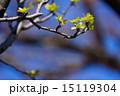 カリンの木の若葉と蕾 15119304