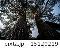 垂直の古木 15120219