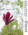 木蓮 朱木蓮 花の写真 15127403