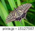 アゲハチョウ 成虫 昆虫の写真 15127507