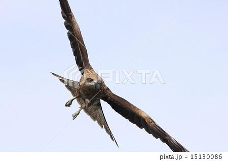 羽を広げて飛んでる正面からのトンビ 顔がくっきり 15130086