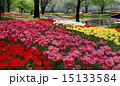 チューリップ畑 国営昭和記念公園 満開の写真 15133584