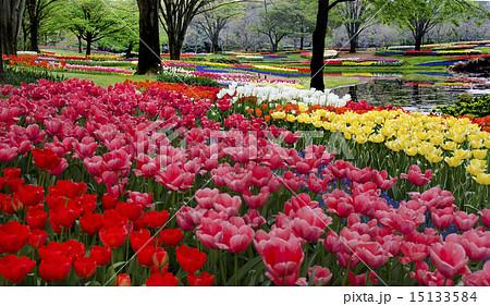 国営昭和記念公園のチューリップガーデン 15133584