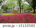 チューリップ畑 国営昭和記念公園 満開の写真 15133585