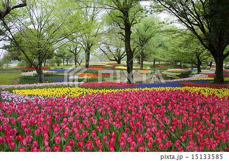 国営昭和記念公園のチューリップガーデン 15133585