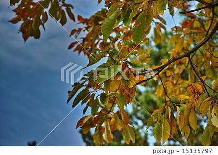 秋のクヌギの葉 15135797