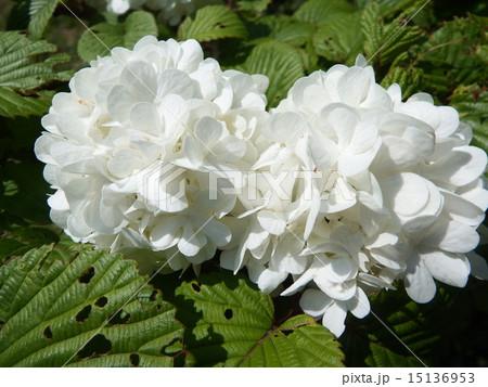 花言葉は「私は誓います」。恋人に贈るには最適なオオデマリの花。 15136953