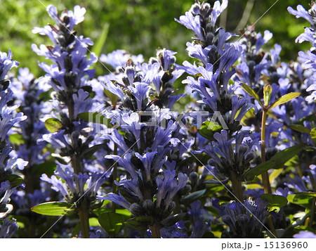 花言葉は「あなたを待っています」。十二単の高貴さを漂わせる可憐な花である。 15136960