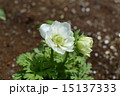 アネモネ ボタンイチゲ ハナイチゲの写真 15137333
