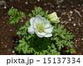 アネモネ ボタンイチゲ ハナイチゲの写真 15137334