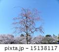 シダレザクラの桃色の花は青空によく合います 15138117