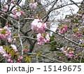 ハナモモの綺麗なピンクの花 15149675