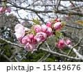 ハナモモの綺麗なピンクの花 15149676