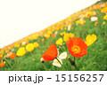 花畑 アイスランドポピー 満開の写真 15156257