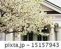 大島桜 旧見付学校 花の写真 15157943