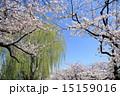 桜 花 ソメイヨシノの写真 15159016
