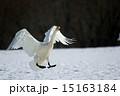 白鳥 15163184