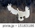 白鳥 15163186