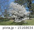 オオシマザクラ こじま公園 花の写真 15168634