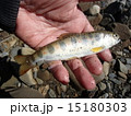 あまご 天然 釣りの写真 15180303