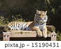 シベリアトラ 野生動物 虎の写真 15190431