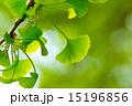 新緑の葉っぱ(イチョウ) 15196856