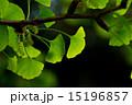 新緑の葉っぱ(イチョウ) 15196857