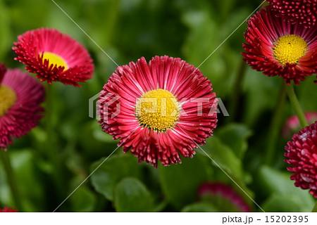 トキシラズの花 15202395