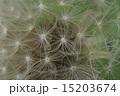 たんぽぽの綿毛超アップ ふわふわ感に癒される 15203674