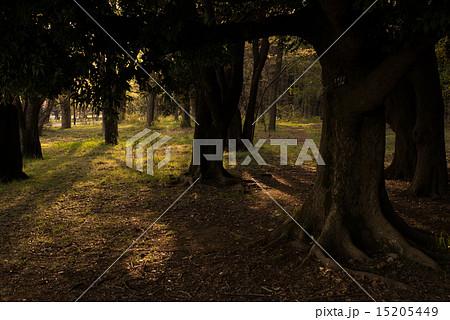 木漏れ日(夕方) 15205449