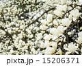 ハクモクレン 満開 花の写真 15206371