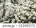 ハクモクレン 満開 花の写真 15206372