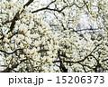 ハクモクレン 満開 花の写真 15206373
