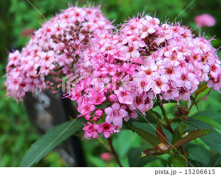 花言葉は「整然とした愛」。淡い紅色の小さな花が集まって咲いている。 15206615