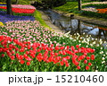 4月花 チューリップ・ユリ科368水辺・昭和記念公園 15210460