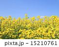 菜の花と青空 15210761