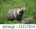 タヌキ 15217014