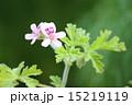 ゼラニウム ローズゼラニウム 花の写真 15219119