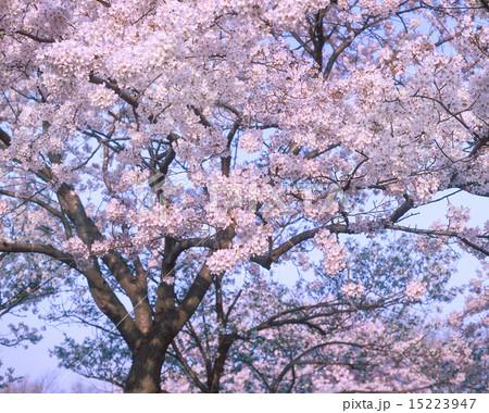 桜 15223947