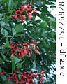 庭木 海紅豆 アメリカデイゴの写真 15226828