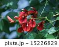 庭木 海紅豆 アメリカデイゴの写真 15226829