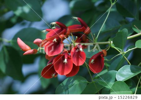 夏の花アメリカデイゴ 和名は海紅豆(かいこうず) 15226829
