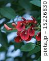 庭木 海紅豆 アメリカデイゴの写真 15226830
