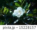 タイサンボク マグノリア 花の写真 15228157